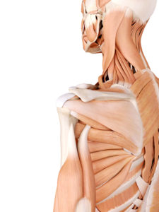 shoulder injury lawyer edmonton - clavicle